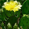 Prickly Pear Blossoms Revisited