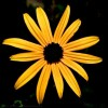 Adventures in Underexposure: Black-eyed Susan Evening Glow
