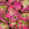 Hydrangea Fades to Pink