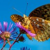 High and Mighty Fritillary