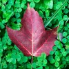 Red Maple on Clover