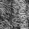 Emerald Ash Borer Galleries of Death