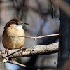 Wren Among Twigs