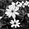 Bloodroot in Black