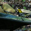 Black-throated Green Warbler Bath