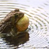 Toad Ripples, Take Two
