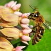 Honeybee on Milkweed