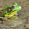 Very Green Green Frog