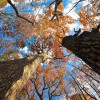Autumn Oak Cathedral (Rokinon Fisheye)