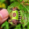 Saddleback Caterpillar: Look, No Touch!