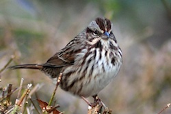 Song Sparrow (cropped)