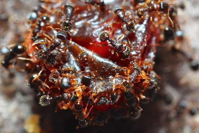 Macro photography enlarging a view of dozens of ants eating a raisin