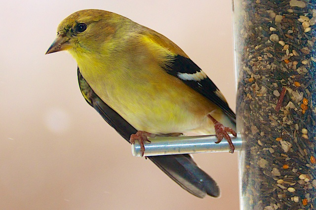 American goldfinch with a misaligned wing