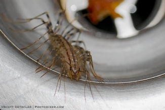 House Centipede in a sink drain