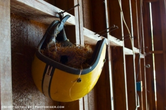 Riding helmet, hanging upsidedown on a barn wall with nest isn