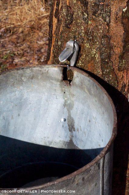 Maple sap drip catches sunlight