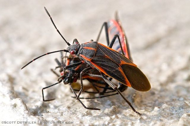 Two boxelder bugs on the carcass of a third