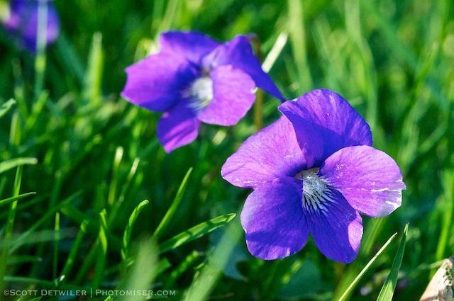 Lawn Violets