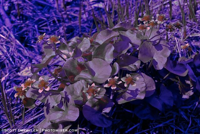Marsh Marigold Cluster UV