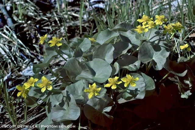 Marsh Marigold Cluster in Visible Light