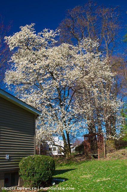 Peak Magnolia Tree