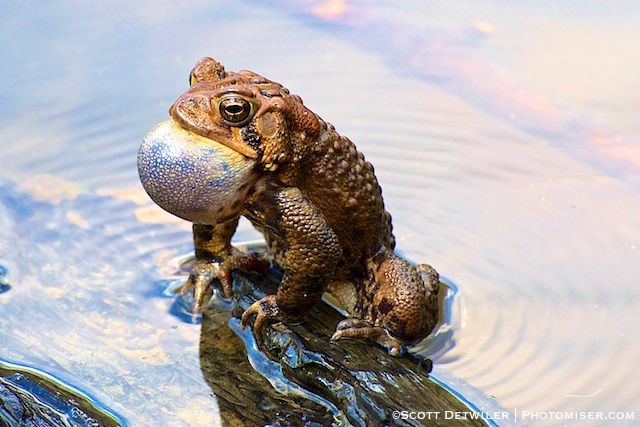 Toad Ripples