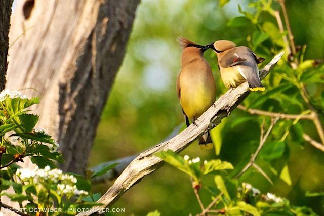Cedar Waxwings Share