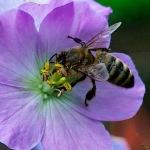 Geranium and honeybee