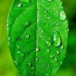 Spicebush Raindrops