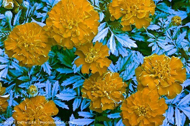 Marigold UV (false color)