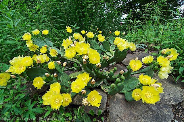 Opuntia Full Bloom