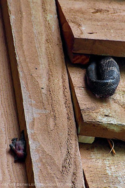 A bat pup has been separated from the colony when it was raided by a black rat snake