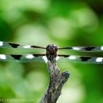 Twelve-spot Dragonfly