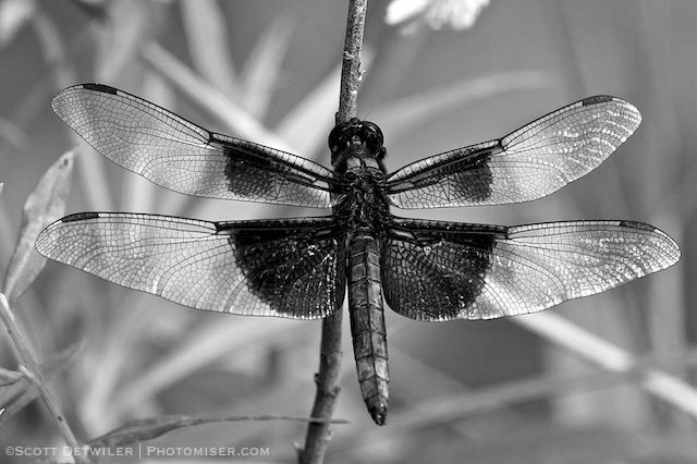 Widow Skimmer Black and White