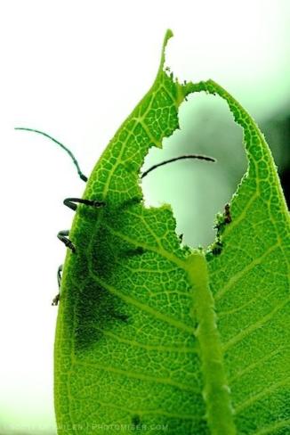 Longhorn Milkweed Beetle