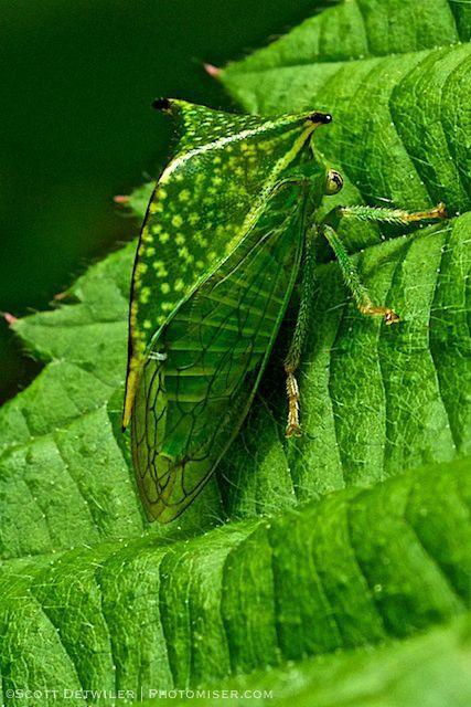 Ceresa tauriniformis, Buffalo Treehopper
