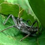 Wheel Bug Nymph (Arilus cristatus)