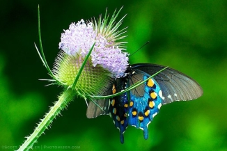 Pipevine Swallowtail on teasel
