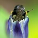 Bee in Gentian
