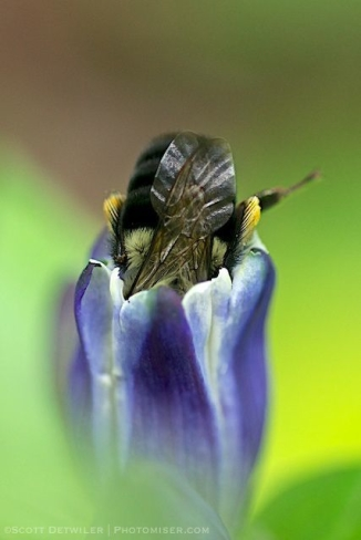 Bee in Gentian
