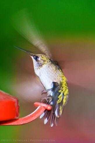 Hummingbird leaving feeder