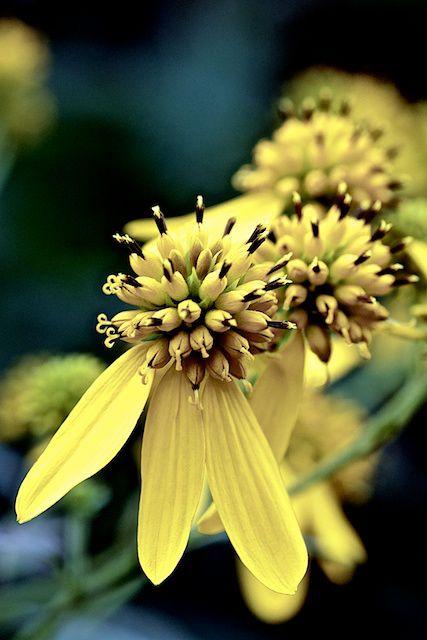 Wingstem Flowers