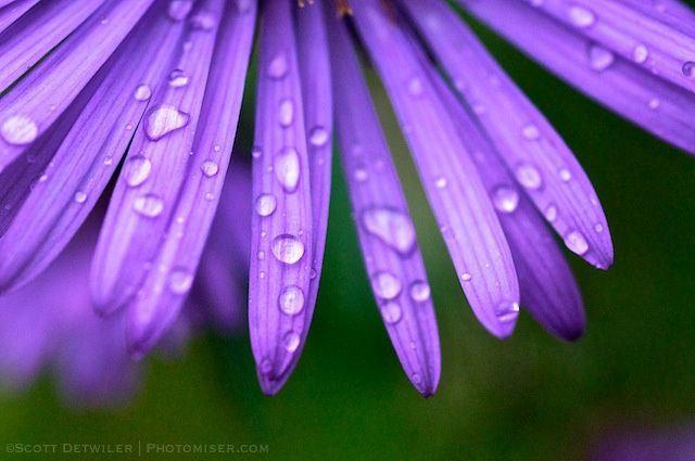 Raindrops on New England aster