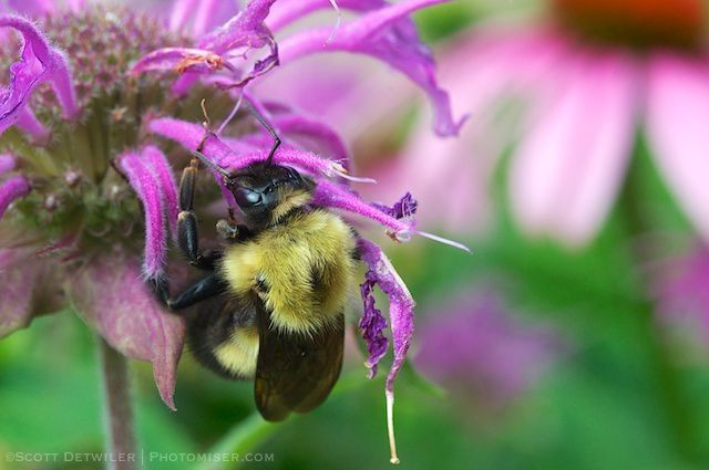 Bumblebee on Monarda