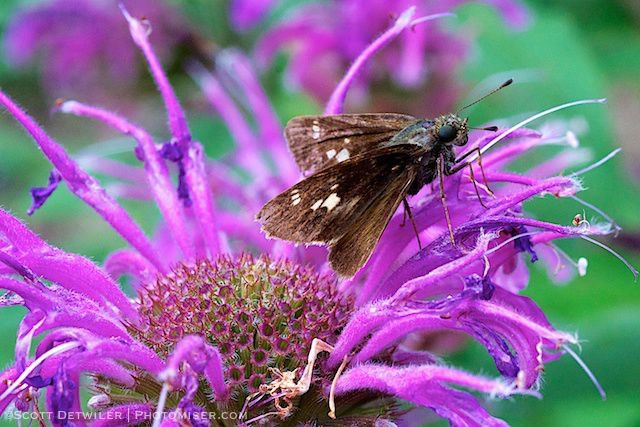 Skipper butterfly on Mondarda