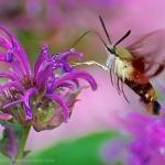 Hummingbird Moth (Sphinx Moth) on monarda