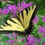 Tiger swallowtail on Monarda