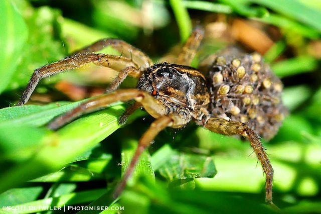 Wolf Spider carries her spiderlings on her abdomen
