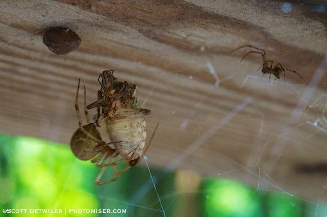 A small male spider approaches the much larger female while she is feeding.