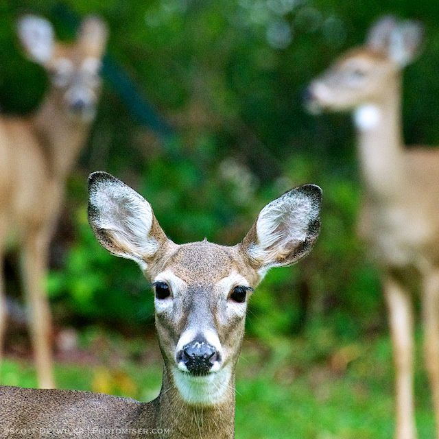 A doe and her two adolescent fawns